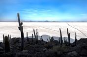 Cactus en Uyuni